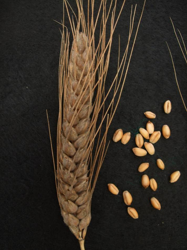 wheat identification images for  <a href='http://www.wheat-gateway.org.uk/search.php?send=1&ID=109320&genes=1&bunt_a=1' target='_blank'>Blue Cone Rivet</a> - 5:38pm&nbsp;29<sup>th</sup>&nbsp;Aug.&nbsp;'11