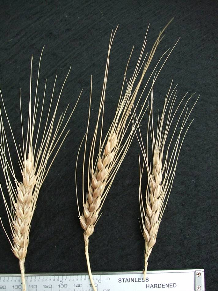 wheat identification images for <a href='http://www.wheat-gateway.org.uk/search.php?send=1&ID=44393&genes=1&bunt_a=1' target='_blank'>Catalan de Monte</a> - 6:07pm&nbsp;10<sup>th</sup>&nbsp;Oct.&nbsp;'11