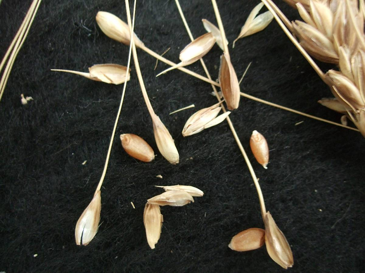 wheat identification images for <a href='http://www.wheat-gateway.org.uk/search.php?send=1&ID=44393&genes=1&bunt_a=1' target='_blank'>Catalan de Monte</a> - 6:08pm&nbsp;10<sup>th</sup>&nbsp;Oct.&nbsp;'11