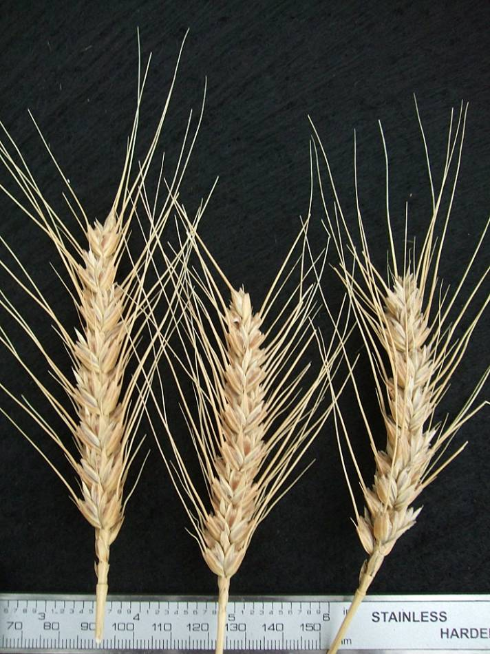 wheat identification images for <a href='http://www.wheat-gateway.org.uk/search.php?send=1&ID=44504&genes=1&bunt_a=1' target='_blank'>Catalan de Monte</a> - 6:10pm&nbsp;10<sup>th</sup>&nbsp;Oct.&nbsp;'11