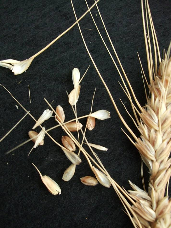 wheat identification images for <a href='http://www.wheat-gateway.org.uk/search.php?send=1&ID=44504&genes=1&bunt_a=1' target='_blank'>Catalan de Monte</a> - 6:11pm&nbsp;10<sup>th</sup>&nbsp;Oct.&nbsp;'11