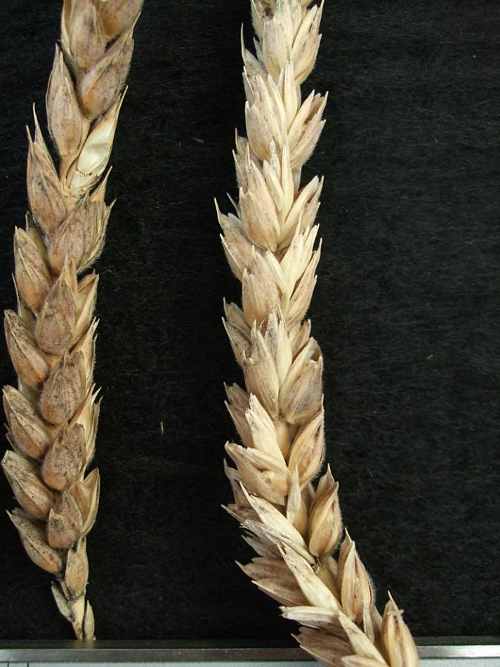 wheat identification images for <a href='http://www.wheat-gateway.org.uk/search.php?send=1&ID=43518&genes=1&bunt_a=1' target='_blank'>Chamorro</a> - 5:49pm&nbsp;9<sup>th</sup>&nbsp;Oct.&nbsp;'11