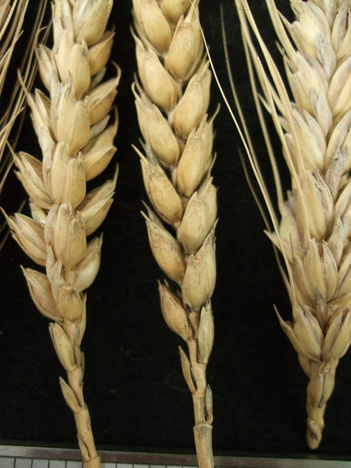 wheat identification images for <a href='http://www.wheat-gateway.org.uk/search.php?send=1&ID=44669&genes=1&bunt_a=1' target='_blank'>Colorado de Alfaro</a> - 5:42pm&nbsp;10<sup>th</sup>&nbsp;Oct.&nbsp;'11