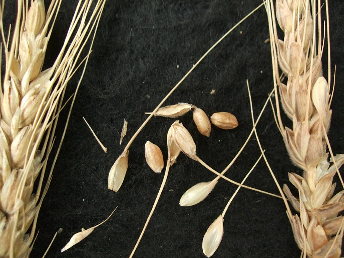 wheat identification images for <a href='http://www.wheat-gateway.org.uk/search.php?send=1&ID=44669&genes=1&bunt_a=1' target='_blank'>Colorado de Alfaro</a> - 5:43pm&nbsp;10<sup>th</sup>&nbsp;Oct.&nbsp;'11