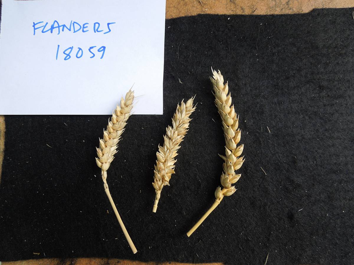 wheat identification images for <a href='http://www.wheat-gateway.org.uk/search.php?send=1&ID=89543&genes=1&bunt_a=1' target='_blank'>Ble Blanc de Flandre</a> number should be CGN08059 - 1:56pm&nbsp;4<sup>th</sup>&nbsp;Oct.&nbsp;'12