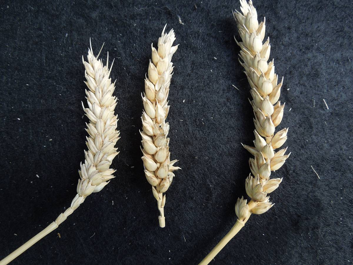 wheat identification images for <a href='http://www.wheat-gateway.org.uk/search.php?send=1&ID=89543&genes=1&bunt_a=1' target='_blank'>Ble Blanc de Flandre</a> - 1:56pm&nbsp;4<sup>th</sup>&nbsp;Oct.&nbsp;'12
