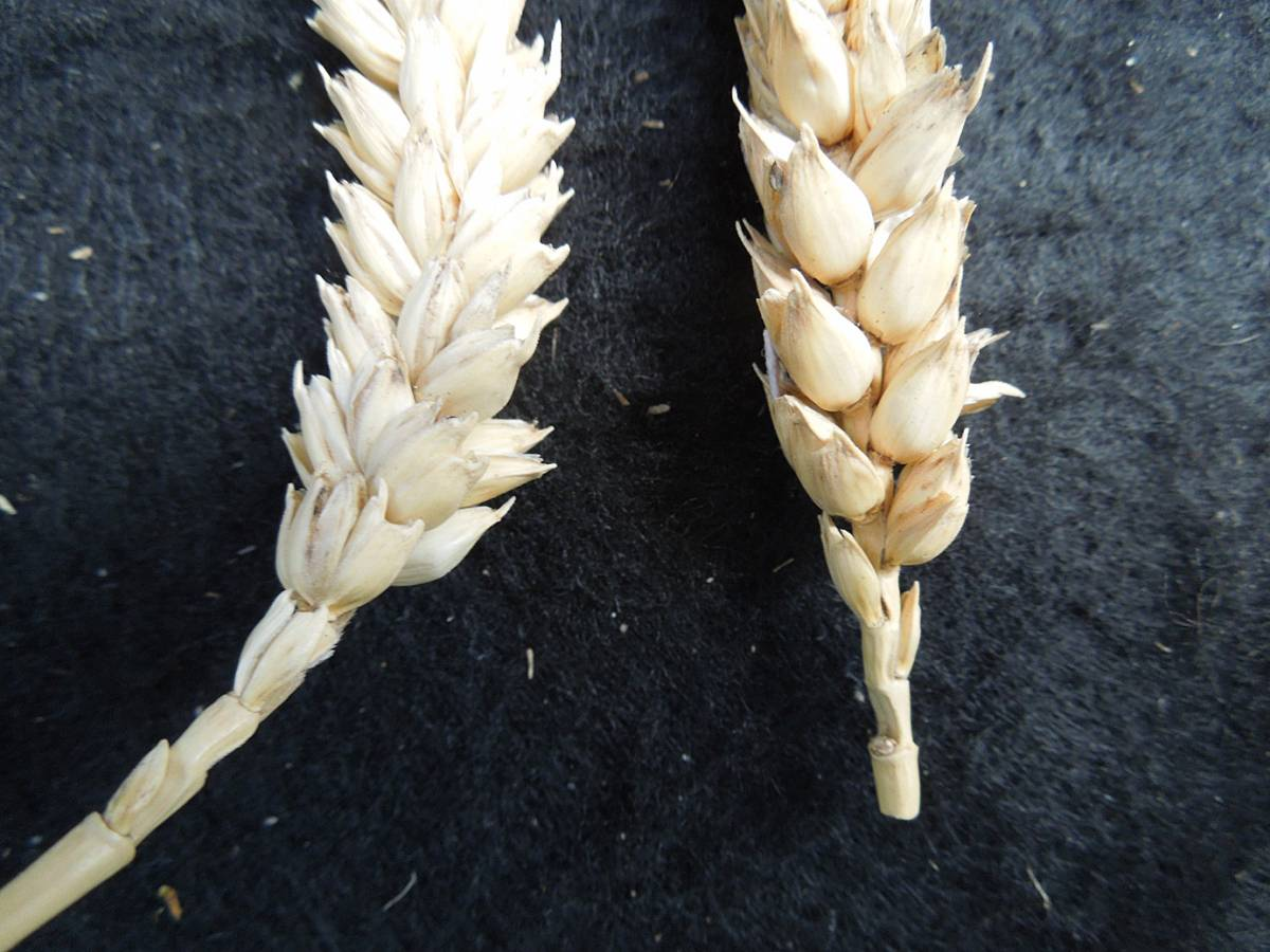 wheat identification images for <a href='http://www.wheat-gateway.org.uk/search.php?send=1&ID=89543&genes=1&bunt_a=1' target='_blank'>Ble Blanc de Flandre</a> - 1:57pm&nbsp;4<sup>th</sup>&nbsp;Oct.&nbsp;'12