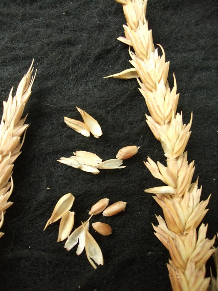 wheat identification images for <a href='http://www.wheat-gateway.org.uk/search.php?send=1&ID=43870&genes=1&bunt_a=1' target='_blank'>Involcable</a> - 5:50pm&nbsp;10<sup>th</sup>&nbsp;Oct.&nbsp;'11
