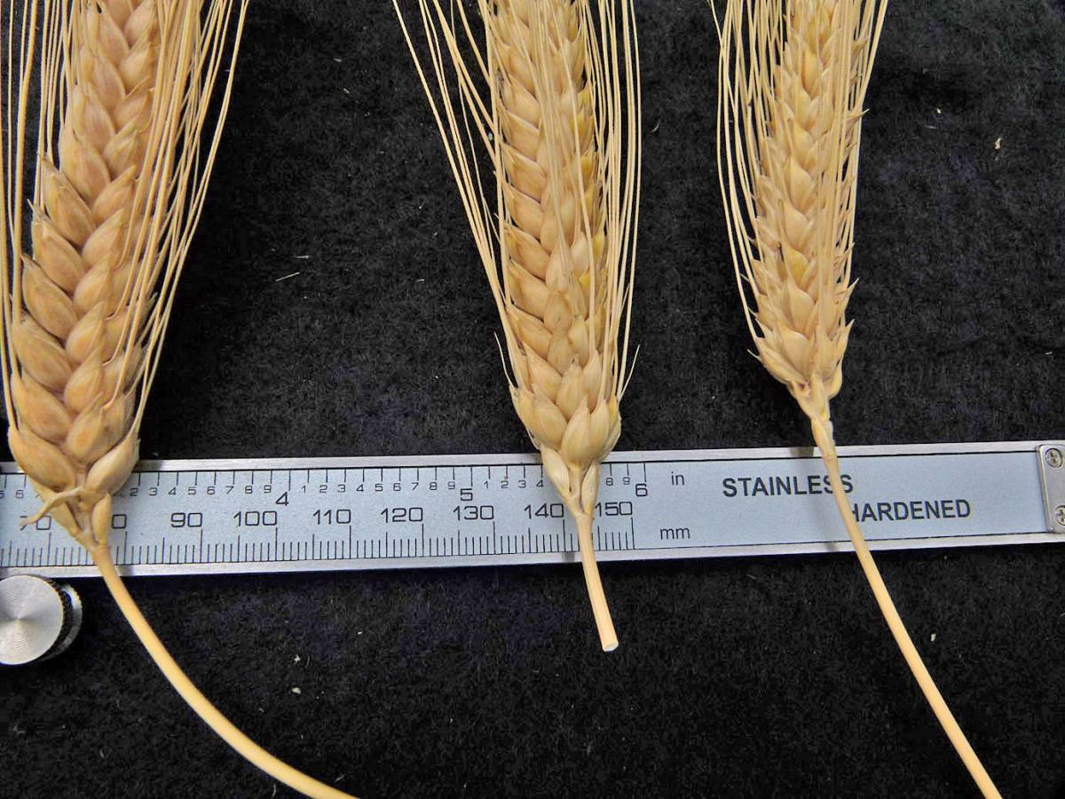 wheat identification images for <a href='http://www.wheat-gateway.org.uk/search.php?send=1&ID=109293&genes=1&bunt_a=1' target='_blank'>Early Cone Rivet</a> - 12:37pm&nbsp;31<sup>st</sup>&nbsp;Aug.&nbsp;'10