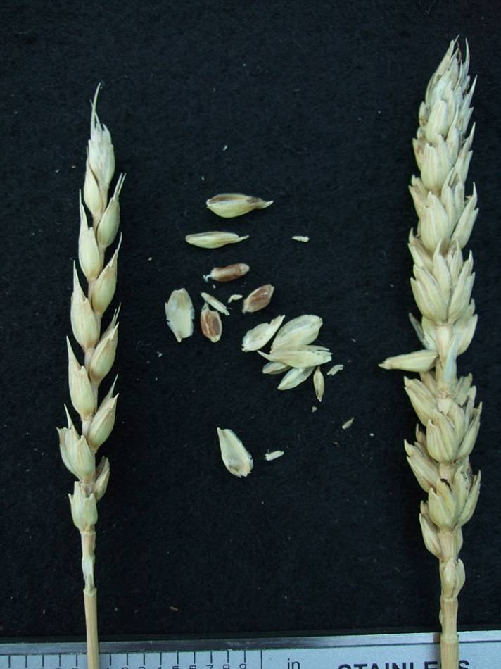 wheat identification images for <a href='http://www.wheat-gateway.org.uk/search.php?send=1&ID=108429&genes=1&bunt_a=1' target='_blank'>Meteor</a> - 6:53pm&nbsp;24<sup>th</sup>&nbsp;Sep.&nbsp;'11