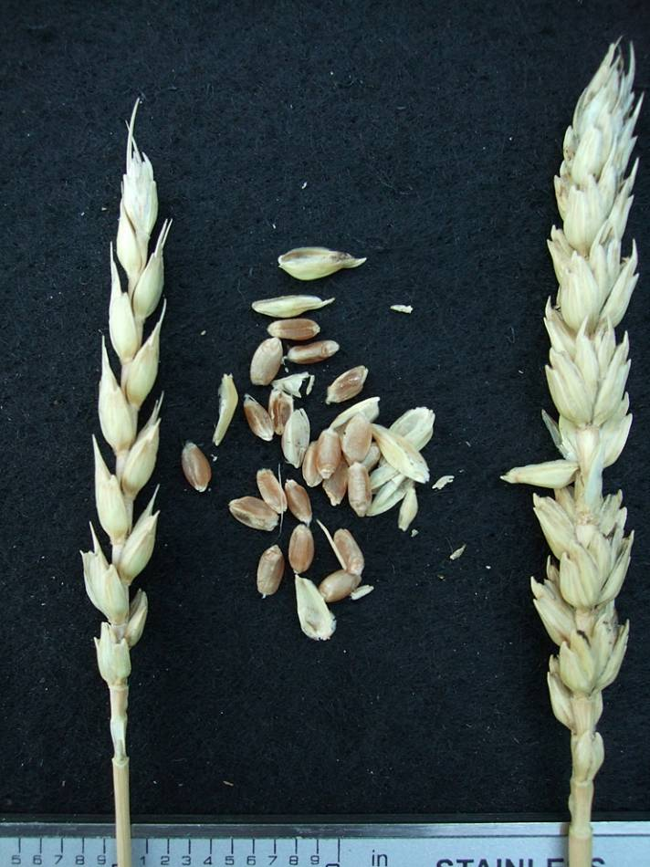 wheat identification images for <a href='http://www.wheat-gateway.org.uk/search.php?send=1&ID=108429&genes=1&bunt_a=1' target='_blank'>Meteor</a> - 6:55pm&nbsp;24<sup>th</sup>&nbsp;Sep.&nbsp;'11