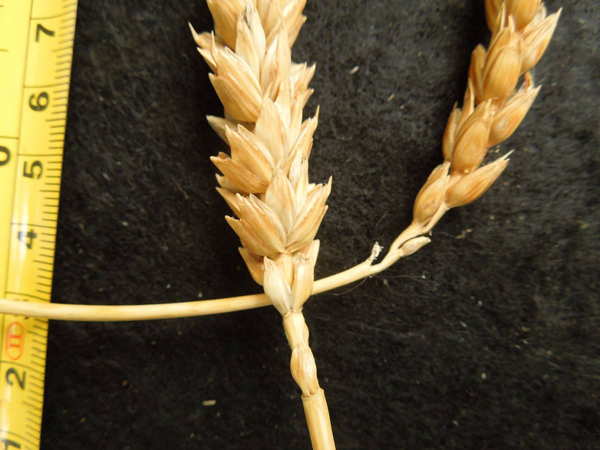 wheat identification images for <a href='http://www.wheat-gateway.org.uk/search.php?send=1&ID=88658&genes=1&bunt_a=1' target='_blank'>Michigan Amber</a> - 10:03am&nbsp;30<sup>th</sup>&nbsp;Aug.&nbsp;'12