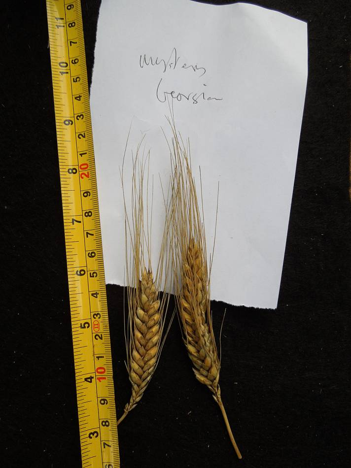 wheat identification images for a mystery found amongst Georgian Tsiteli doli - 10:48am&nbsp;30<sup>th</sup>&nbsp;Aug.&nbsp;'12