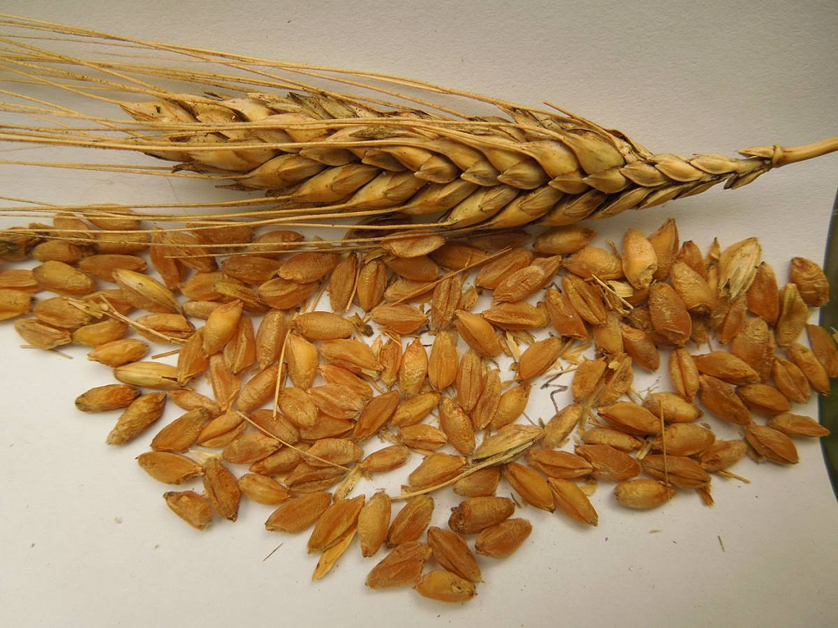 wheat identification images for a mystery found amongst Georgian Tsiteli doli - 10:54am&nbsp;30<sup>th</sup>&nbsp;Aug.&nbsp;'12