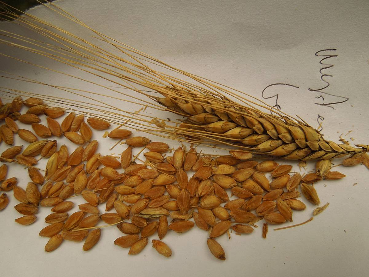 wheat identification images for a mystery found amongst Georgian Tsiteli doli - 10:55am&nbsp;30<sup>th</sup>&nbsp;Aug.&nbsp;'12