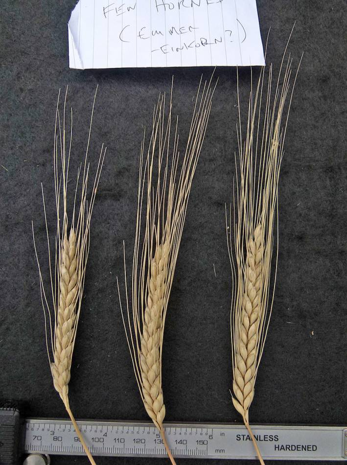 wheat identification images for Fen Horned Emmer - 12:29pm&nbsp;31<sup>st</sup>&nbsp;Aug.&nbsp;'10