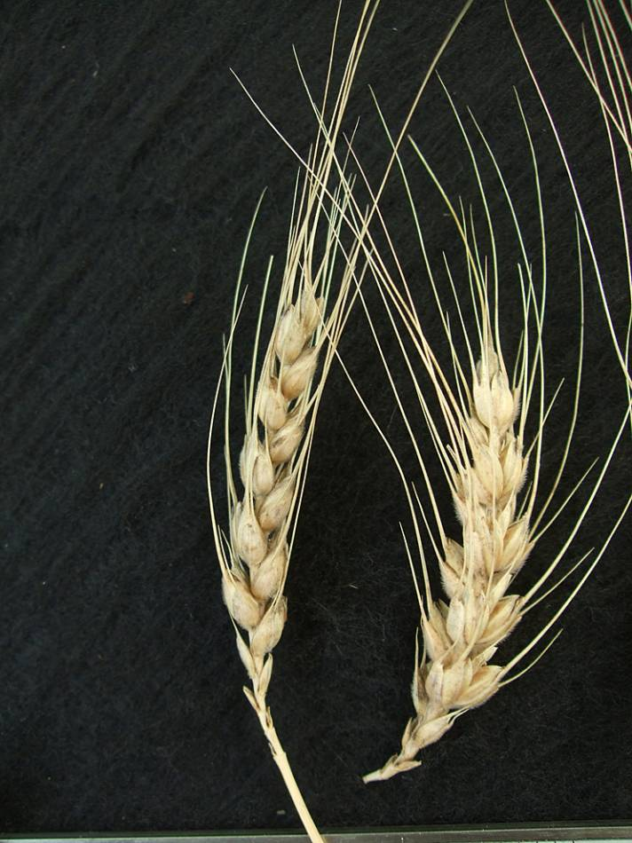 wheat identification images for <a href='http://www.wheat-gateway.org.uk/search.php?send=1&ID=43651&genes=1&bunt_a=1' target='_blank'>Negrete </a>(de Cuenca?) - 4:23pm&nbsp;9<sup>th</sup>&nbsp;Oct.&nbsp;'11