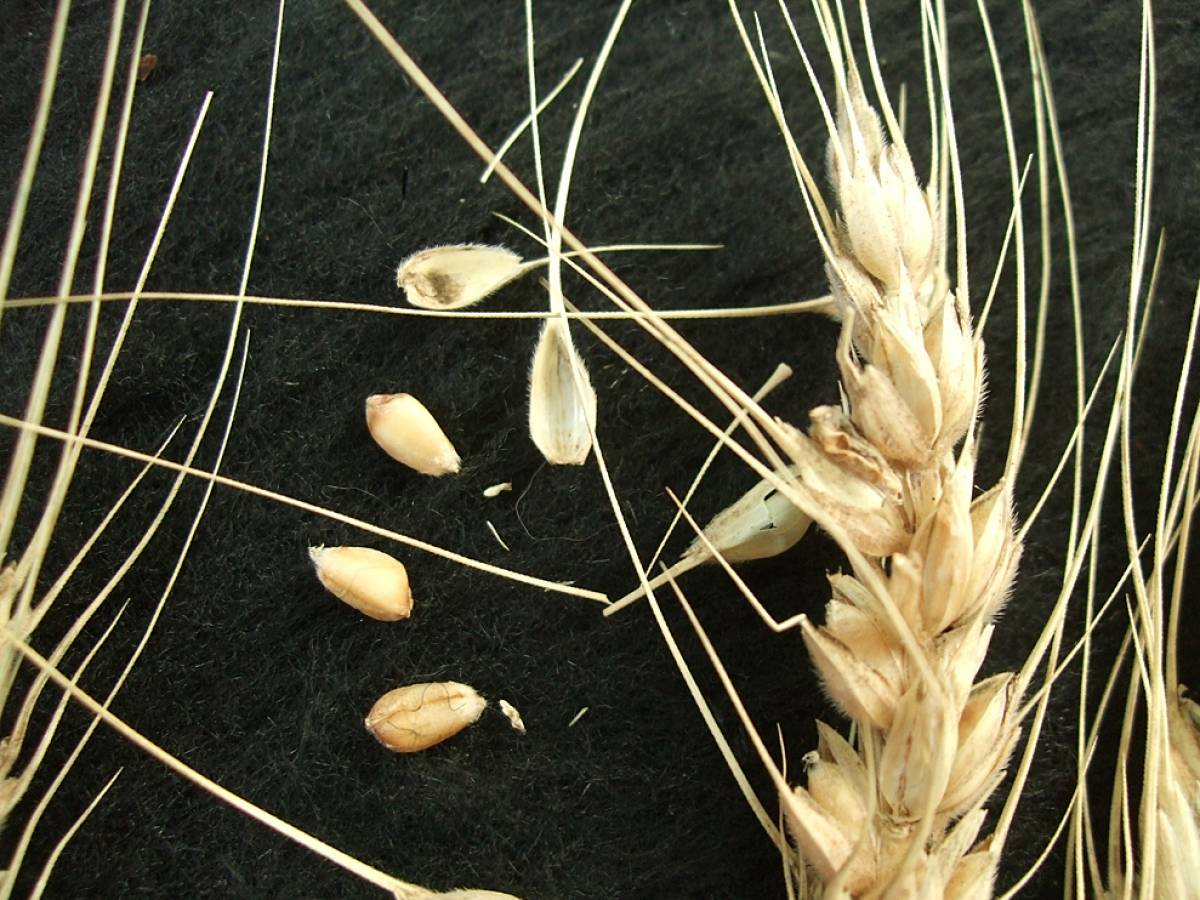 wheat identification images for <a href='http://www.wheat-gateway.org.uk/search.php?send=1&ID=43651&genes=1&bunt_a=1' target='_blank'>Negrete </a>(de Cuenca?) - 4:25pm&nbsp;9<sup>th</sup>&nbsp;Oct.&nbsp;'11