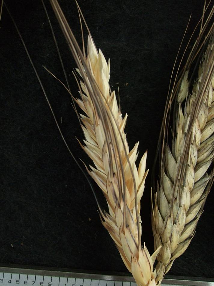 wheat identification images for <a href='http://brockwell-bake.org.uk/wheat/search.php?send=1&ID=44012&genes=1&bunt_a=1' target='_blank'>Pragana Preta</a> - 5:39pm&nbsp;9<sup>th</sup>&nbsp;Oct.&nbsp;'11