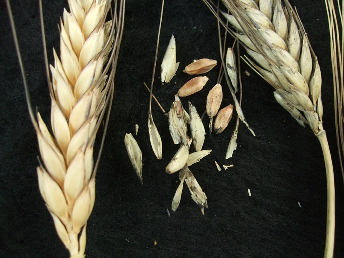 wheat identification images for <a href='http://brockwell-bake.org.uk/wheat/search.php?send=1&ID=44012&genes=1&bunt_a=1' target='_blank'>Pragana Preta</a> - 5:41pm&nbsp;9<sup>th</sup>&nbsp;Oct.&nbsp;'11