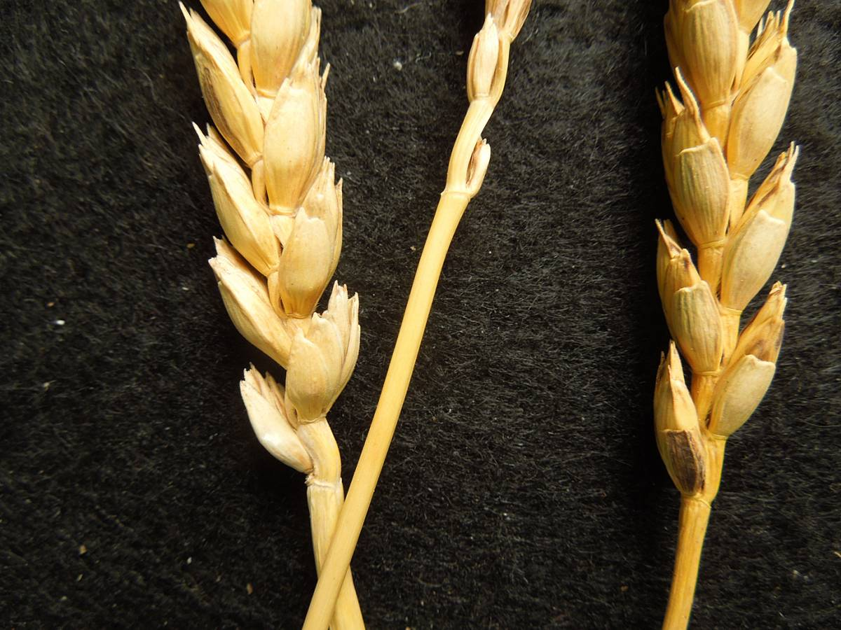 wheat identification images for <b>free-threshing purple spelt</b> ex <a href='http://www.agrologica.dk/' target='_blank'>Anders Borgen</a>  - 11:19am&nbsp;30<sup>th</sup>&nbsp;Aug.&nbsp;'12