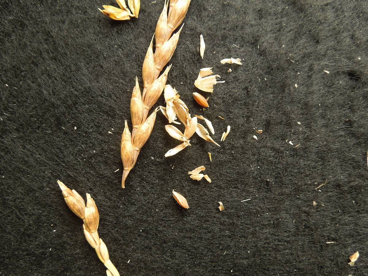wheat identification images for <b>free-threshing purple spelt</b> ex <a href='http://www.agrologica.dk/' target='_blank'>Anders Borgen</a>  - 11:20am&nbsp;30<sup>th</sup>&nbsp;Aug.&nbsp;'12