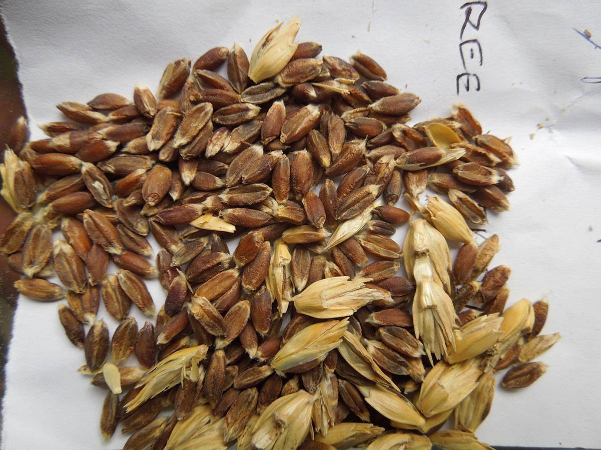 wheat identification images for <b>free-threshing purple spelt</b> ex <a href='http://www.agrologica.dk/' target='_blank'>Anders Borgen</a>  - 11:35am&nbsp;30<sup>th</sup>&nbsp;Aug.&nbsp;'12
