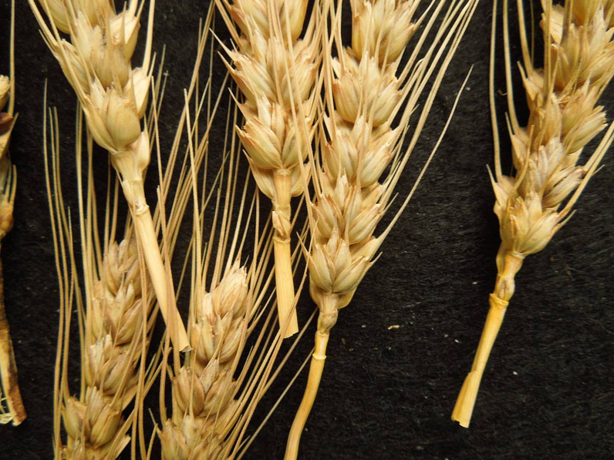 wheat identification images for purple wheat ex<a href='http://www.agrologica.dk/' target='_blank'> Anders Borgen</a> - 9:14am&nbsp;30<sup>th</sup>&nbsp;Aug.&nbsp;'12