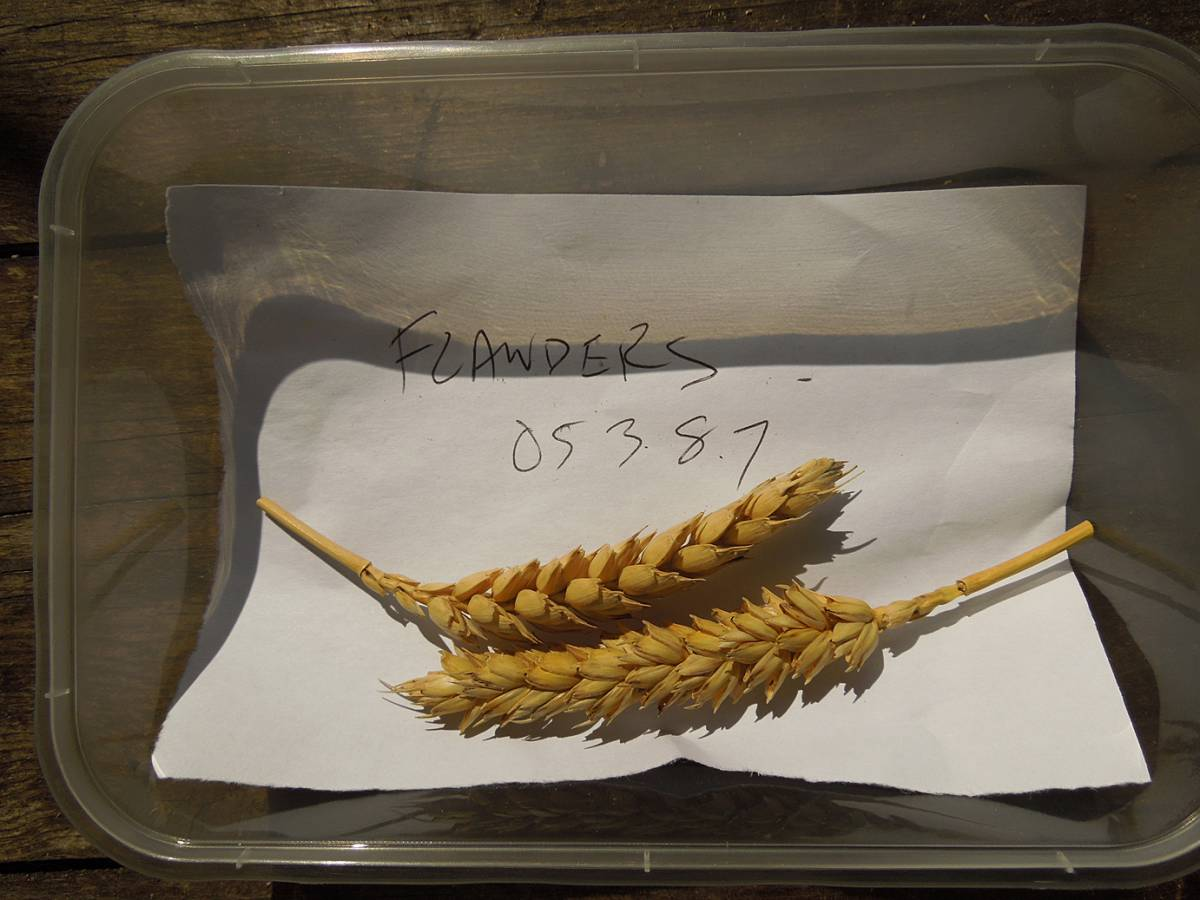 wheat identification images for Ble Blanc de Flandre - 12:36pm&nbsp;31<sup>st</sup>&nbsp;Aug.&nbsp;'12