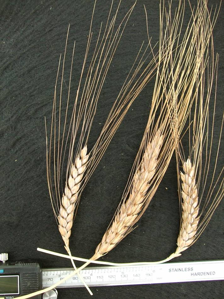 wheat identification images for <a href='http://brockwell-bake.org.uk/wheat/search.php?send=1&ID=44067&genes=1&bunt_a=1' target='_blank'>Raspinegro de Medeach</a> durum - 4:45pm&nbsp;9<sup>th</sup>&nbsp;Oct.&nbsp;'11