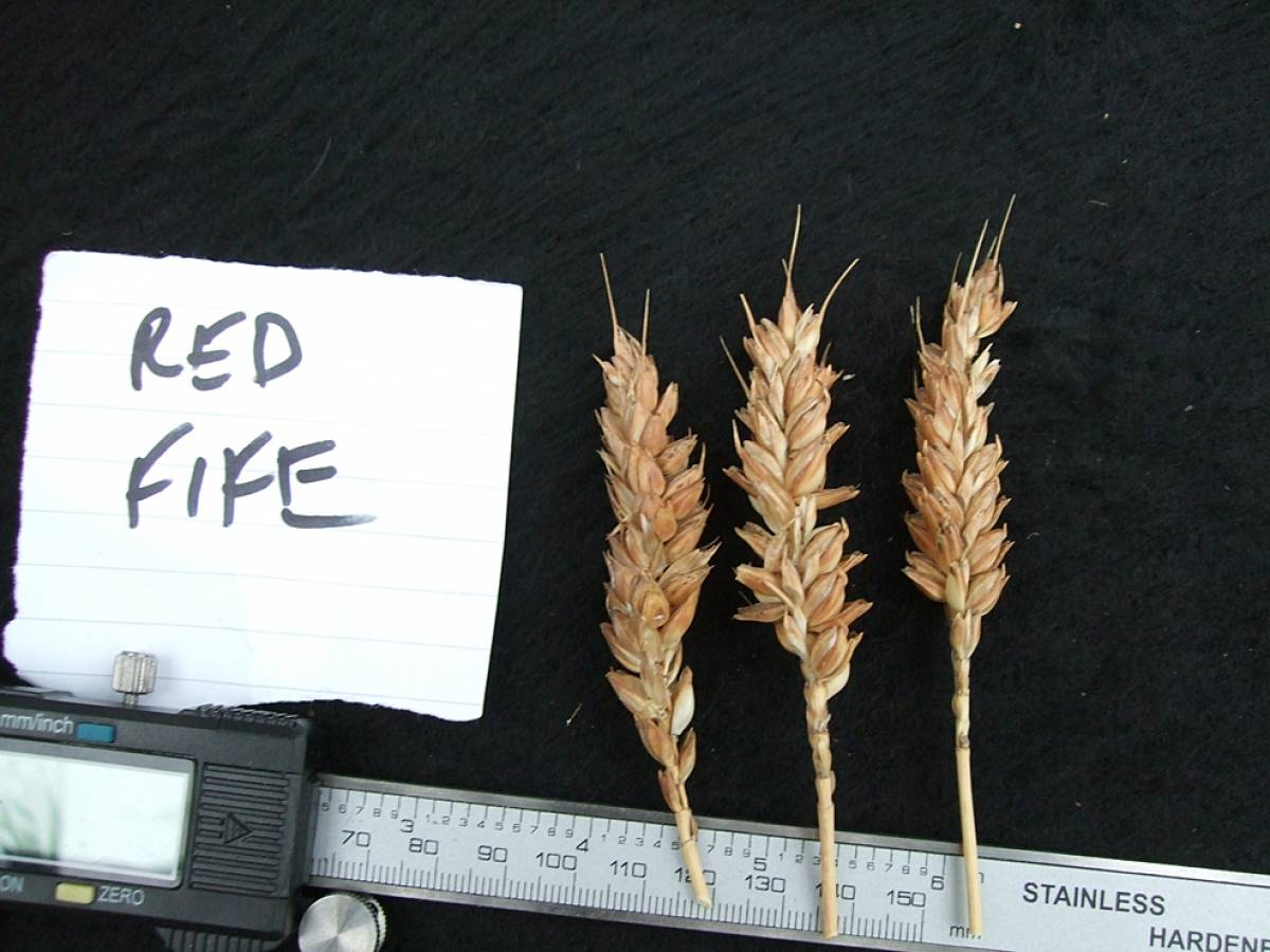 wheat identification images for <a href='http://brockwell-bake.org.uk/wheat/search.php?send=1&ID=108611&genes=1&bunt_a=1' target='_blank'>Red Fife</a> - 6:12pm&nbsp;10<sup>th</sup>&nbsp;Oct.&nbsp;'11