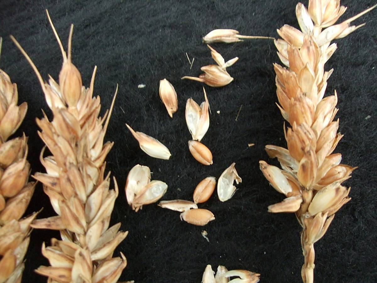 wheat identification images for <a href='http://brockwell-bake.org.uk/wheat/search.php?send=1&ID=108611&genes=1&bunt_a=1' target='_blank'>Red Fife</a> - 6:13pm&nbsp;10<sup>th</sup>&nbsp;Oct.&nbsp;'11
