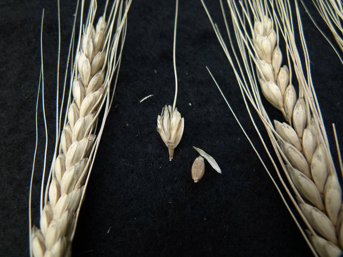 wheat identification images for Fen Horned Emmer - 12:31pm&nbsp;31<sup>st</sup>&nbsp;Aug.&nbsp;'10