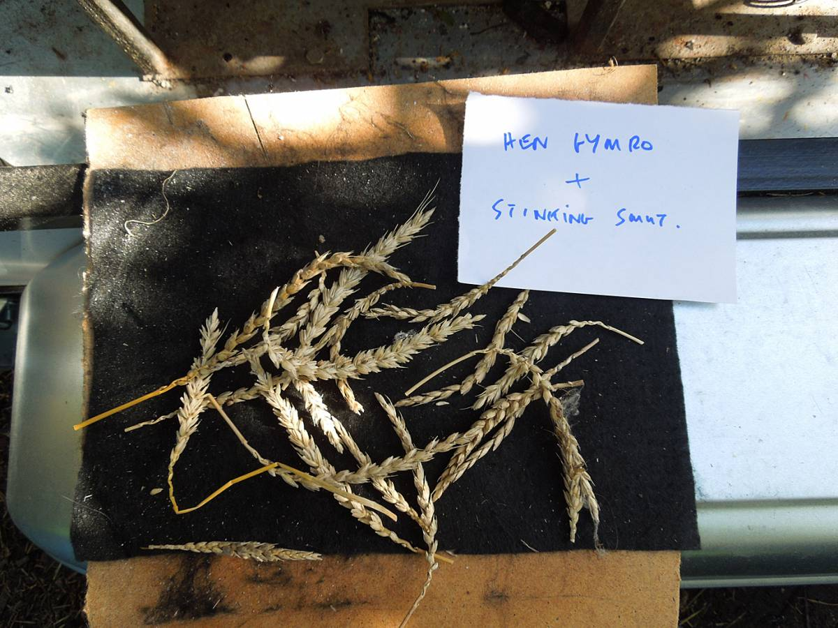wheat identification images for Common Bunt in Hen Gymro and Red Lammas - 1:49pm&nbsp;4<sup>th</sup>&nbsp;Oct.&nbsp;'12