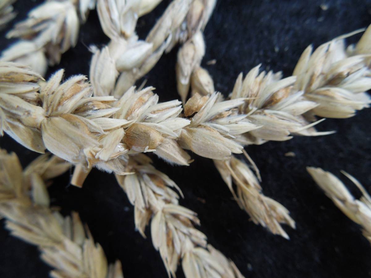 wheat identification images for Common Bunt in Hen Gymro and Red Lammas - 1:50pm&nbsp;4<sup>th</sup>&nbsp;Oct.&nbsp;'12