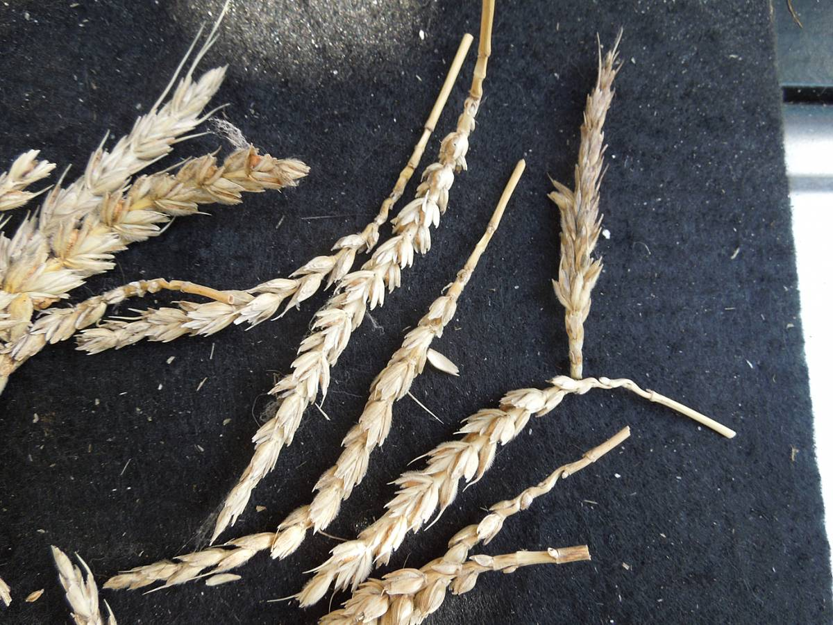 wheat identification images for Common Bunt in Hen Gymro and Red Lammas - 1:51pm&nbsp;4<sup>th</sup>&nbsp;Oct.&nbsp;'12