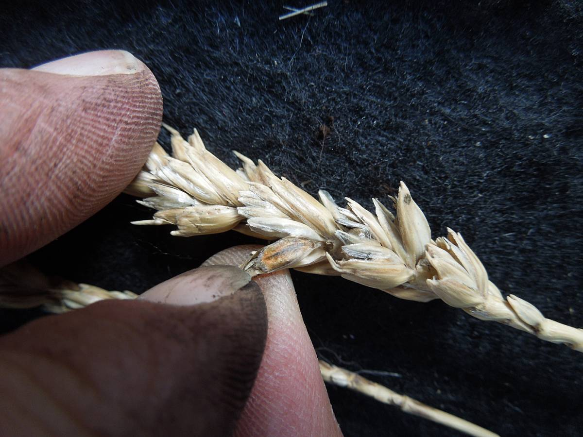 wheat identification images for Common Bunt in Hen Gymro and Red Lammas - 1:53pm&nbsp;4<sup>th</sup>&nbsp;Oct.&nbsp;'12
