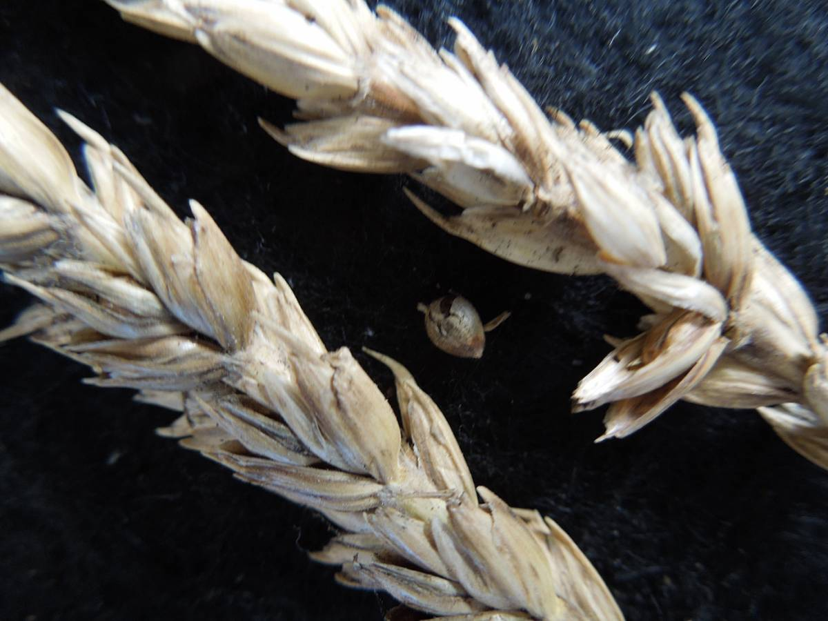 wheat identification images for Common Bunt in Hen Gymro and Red Lammas - 1:54pm&nbsp;4<sup>th</sup>&nbsp;Oct.&nbsp;'12