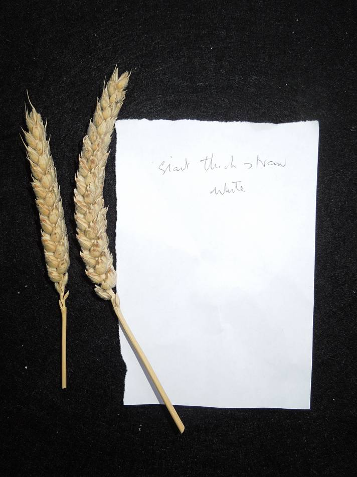 wheat identification images for Giant White unidentified with thick straight straw, squarish had and velvet chaff - 4:56pm&nbsp;28<sup>th</sup>&nbsp;Aug.&nbsp;'12