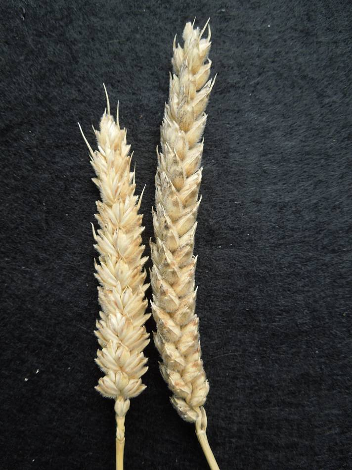 wheat identification images for Giant White unidentified with thick straight straw, squarish had and velvet chaff - 4:57pm&nbsp;28<sup>th</sup>&nbsp;Aug.&nbsp;'12