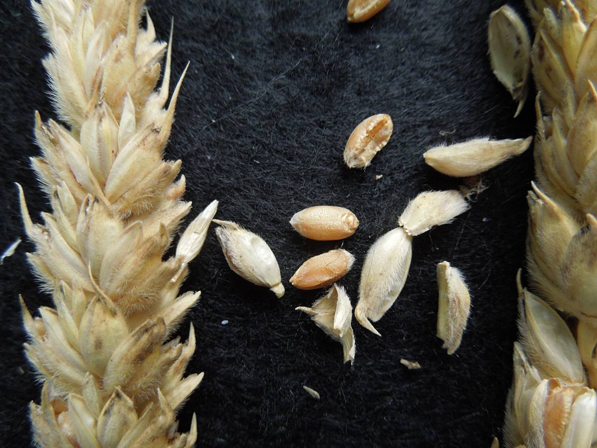 wheat identification images for Giant White unidentified with thick straight straw, squarish had and velvet chaff - 4:59pm&nbsp;28<sup>th</sup>&nbsp;Aug.&nbsp;'12