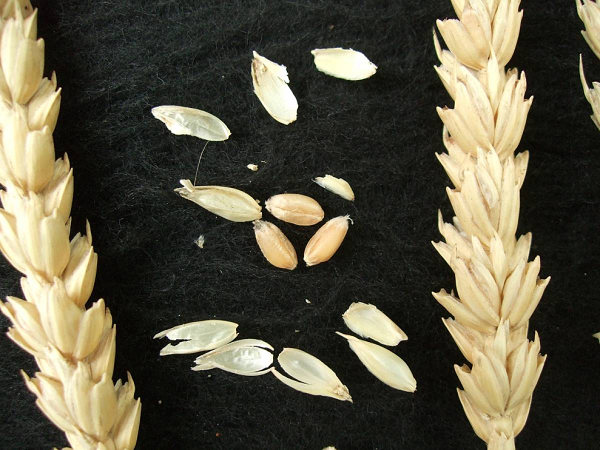 wheat identification images for <a href='http://brockwell-bake.org.uk/wheat/search.php?send=1&ID=109288&genes=1&bunt_a=1' target='_blank'>Talavera de Bellevue</a> - 5:39pm&nbsp;10<sup>th</sup>&nbsp;Oct.&nbsp;'11