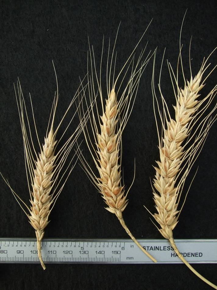 wheat identification images for <a href='http://brockwell-bake.org.uk/wheat/search.php?send=1&ID=109291&genes=1&bunt_a=1' target='_blank'>Victoria Blanc de Mars</a> - 5:05pm&nbsp;25<sup>th</sup>&nbsp;Sep.&nbsp;'11