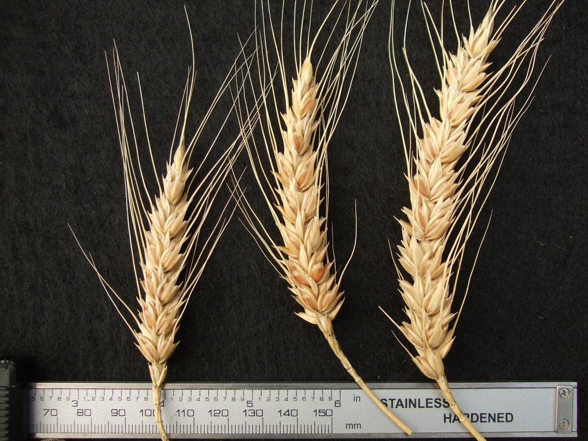 wheat identification images for <a href='http://brockwell-bake.org.uk/wheat/search.php?send=1&ID=109291&genes=1&bunt_a=1' target='_blank'>Victoria Blanc de Mars</a> - 5:06pm&nbsp;25<sup>th</sup>&nbsp;Sep.&nbsp;'11