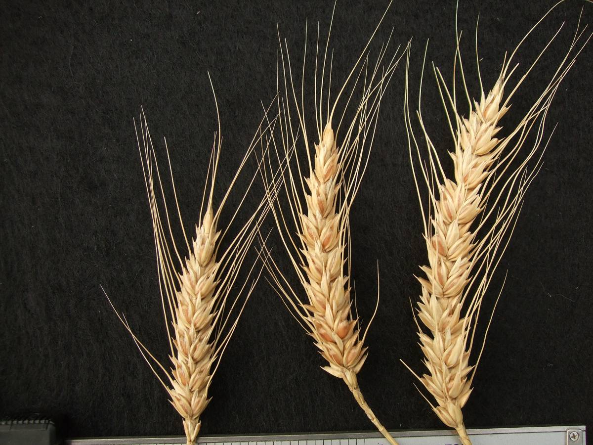wheat identification images for <a href='http://brockwell-bake.org.uk/wheat/search.php?send=1&ID=109291&genes=1&bunt_a=1' target='_blank'>Victoria Blanc de Mars</a> - 5:07pm&nbsp;25<sup>th</sup>&nbsp;Sep.&nbsp;'11