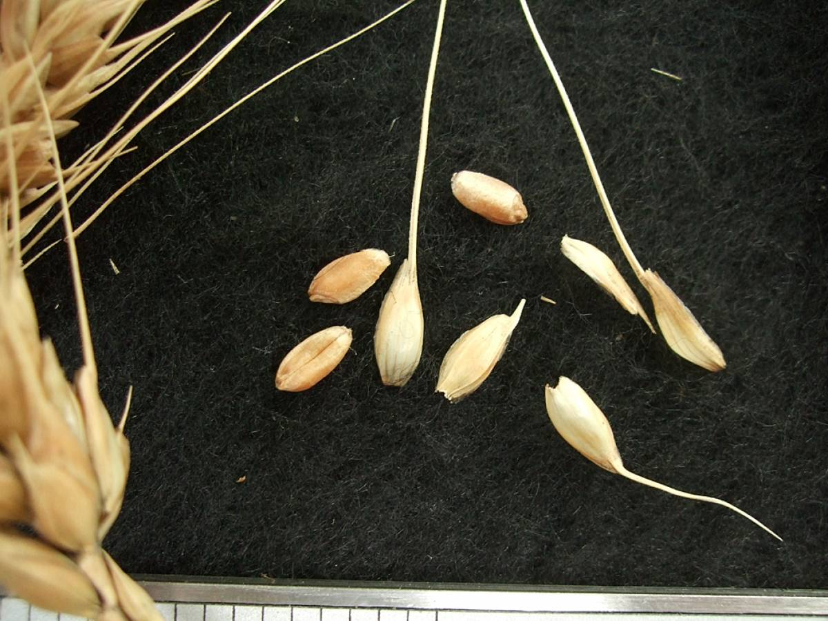 wheat identification images for <a href='http://brockwell-bake.org.uk/wheat/search.php?send=1&ID=44927&genes=1&bunt_a=1' target='_blank'>Vimbodi</a> - 4:33pm&nbsp;9<sup>th</sup>&nbsp;Oct.&nbsp;'11