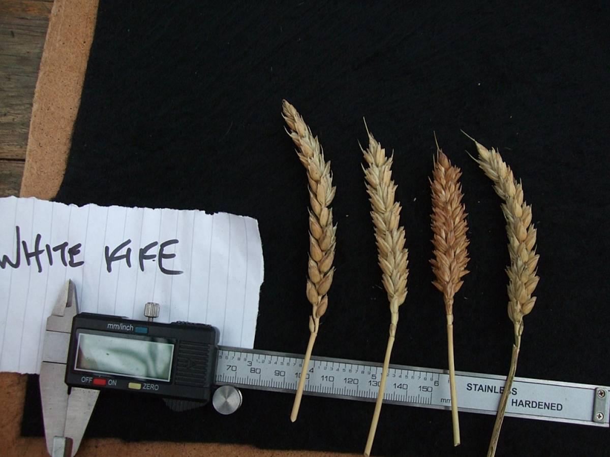 wheat identification images for <a href='http://brockwell-bake.org.uk/wheat/search.php?send=1&ID=108617&genes=1&bunt_a=1' target='_blank'>White Fife</a> - 6:14pm&nbsp;10<sup>th</sup>&nbsp;Oct.&nbsp;'11