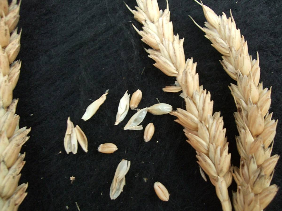 wheat identification images for <a href='http://brockwell-bake.org.uk/wheat/search.php?send=1&ID=108617&genes=1&bunt_a=1' target='_blank'>White Fife</a> - 6:15pm&nbsp;10<sup>th</sup>&nbsp;Oct.&nbsp;'11