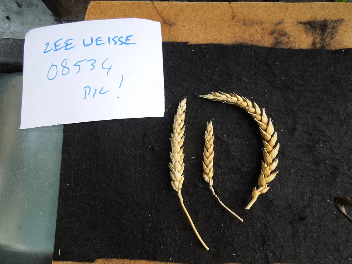 wheat identification images for <a href='http://brockwell-bake.org.uk/wheat/search.php?send=1&ID=89996&genes=1&bunt_a=1' target='_blank'>Zeeuwse Witte</a> - 2:11pm&nbsp;4<sup>th</sup>&nbsp;Oct.&nbsp;'12