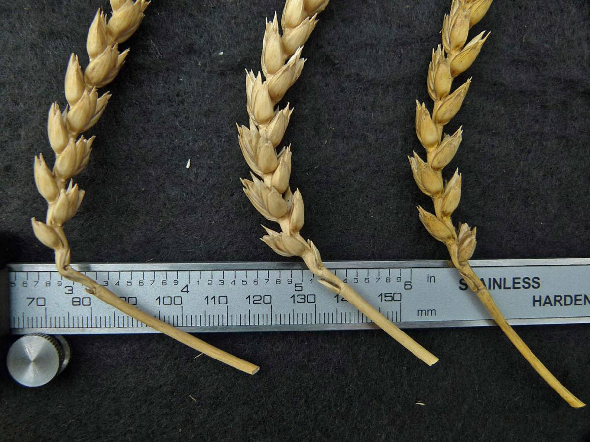 wheat identification images for <a href='http://www.wheat-gateway.org.uk/search.php?send=1&ID=109461' target='_blank'>Old Burwell</a> - 11:46am&nbsp;31<sup>st</sup>&nbsp;Aug.&nbsp;'10